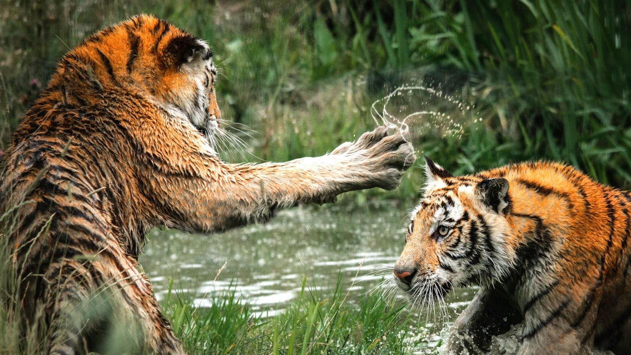 tygrysy-allegro-amazon-sp